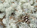 Reindeer Moss (Cladonia Rangiferina) with Pine Cone  Sweden