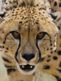 Cheetah (Acinonyx Jubatus) Defensive Behavior  Cheetah Conservation Fund  Otijwarongo  Namibia