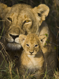 African Lion (Panthera Leo) 5 Week Old Cub Peeks Out of the Den  Masai Mara Nat'l Reserve  Kenya
