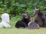 Brown Bear (Ursus Arctos) Pair Near Statue  Kamchatka  Russia