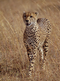 Cheetah (Acinonyx Jubatus)  Walking on Savannah  Masai Mara National Reserve  Kenya