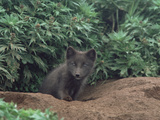 Arctic Fox (Alopex Lagopus) Pup at Burrow Entrance  North America