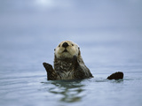 Sea Otter (Enhydra Lutris)  Prince William Sound  Alaska