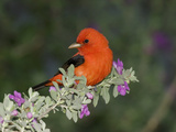 Scarlet Tanager (Piranga Olivacea) Male  Rio Grande Valley  Texas