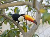 Toco Toucan (Ramphastos Toco)  Pantanal  Brazil