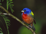 Painted Bunting (Passerina Ciris) Male Perching on Branch  Texas