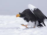 Steller's Sea Eagle (Haliaeetus Pelagicus) Walking on Snow  Kamchatka  Russia