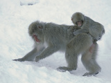 Japanese Macaque (Macaca Fuscata) Mother with Baby Foraging  Joshinetsu Plateau Nat'l Park  Japan