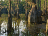 Cypress Swamp  Pine Log State Forest  Florida