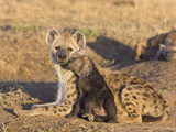 Spotted Hyena (Crocuta Crocuta) Mother and 12 to 14 Week Old Cub  Masai Mara Nat'l Reserve  Kenya