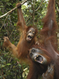 Orangutan (PongoPygmaeus) Female and Baby Calling  Camp Leaky  Tanjung Puting Nat&#39;l Park  Indonesia