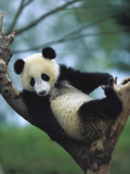 Giant Panda (Ailuropoda Melanoleuca) Endangered  One Year Old Cub in a Tree