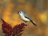 Tufted Titmouse (Parus Bicolor) Perching  Long Island  New York