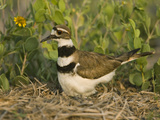 Killdeer (Charadrius Vociferus) Incubating Eggs on Nest Amid Vegetation  North America