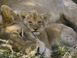 African Lion (Panthera Leo) Mother Resting with Cub  Vulnerable  Masai Mara Nat&#39;l Reserve  Kenya
