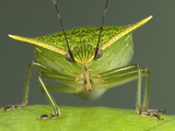 Stink Bug (Loxa Viridis) Portrait  a True Bug of the Heteroptera Suborder  Guanacaste  Costa Rica