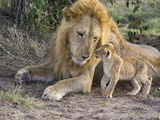 African Lion (Panthera Leo) Cub Approaches Adult Male  Vulnerable  Masai Mara Nat'l Reserve  Kenya