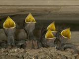 Barn Swallow (Hirundo Rustica) Chicks in Mud Nest Begging for Food  Picardie  France