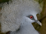 Western Crowned Pigeon (Goura Cristata)  Vulnerable  Native to New Guinea