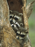 Raccoon (Procyon Lotor) Three Babies Peering Out from Hole in Tree  North America