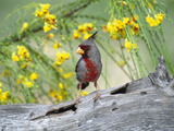 Pyrrhuloxia (Cardinalis Sinuatus) Perching on Log  Rio Grande Valley  Texas