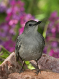 Gray Catbird (Dumetella Carolinensis) Rio Grande Valley  Texas