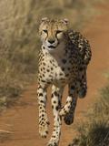 Cheetah (Acinonyx Jubatus) Rescued from Trap on Livestock Farm  Cheetah Conservation Fund  Namibia
