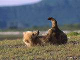 Grizzly Bear (Ursus Arctos Horribilis) Cub Playing  Katmai Nat&#39;l Park  Alaska