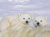 Polar Bear (Ursus Maritimus) Triplet Cubs on Top of their Mother  Wapusk  Vulnerable