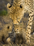 Cheetah (Acinonyx Jubatus) Mother Nuzzles Seven Day Old Cubs  Maasai Mara Reserve  Kenya