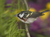 Chestnut-Sided Warbler (Dendroica Pensylvanica) Perched on a Branch  Rio Grande Valley  Texas