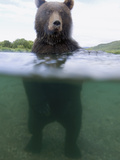 Brown Bear (Ursus Arctos) in River  Kamchatka  Russia
