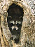 Raccoon (Procyon Lotor) Baby Peering Out from Hole in Tree  North America