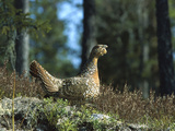 Capercaillie (Tetrao Urogallus) Female Sitting on Ground  Sweden