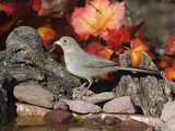 Canyon Towhee (Pipilo Fuscus) Beside Drinking Pool  Santa Rita Mountains  Arizona