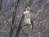 Red-Tailed Hawk (Buteo Jamaicensis) Portrait  Kingston  Annapolis Valley  Nova Scotia  Canada
