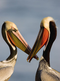 Brown Pelican (Pelecanus Occidentalis) Pair Interacting  California
