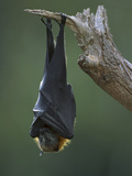 Gray-Headed Flying Fox (Pteropus Poliocephalus) Roosting  Ipswich  Australia