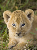 African Lion (Panthera Leo) Five Week Old Cub  Vulnerable  Masai Mara Nat&#39;l Reserve  Kenya