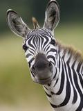Burchell's Zebra (Equus Burchellii) Portrait  Masai Mara  Kenya