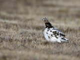Rock Ptarmigan (Lagopus Mutus) Female Moulting from Winter to Summer Feathers  Kamchatka  Russia