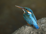 Kingfisher (Alcedo Atthis) Female  Bandhavgarh Nat'l Park  India