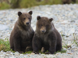Grizzly Bear (Ursus Arctos Horribilis) Pair of 6 to 8 Month Old Cubs  Katmai Nat'l Park  Alaska