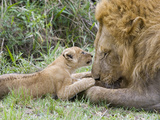 African Lion (Panthera Leo)Cub Playing with Adult Male  Vulnerable  Masai Mara Nat'l Reserve  Kenya