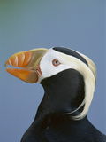 Tufted Puffin (Fratercula Cirrhata) Portrait  Pribilof Islands  Alaska