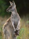 Eastern Grey Kangaroo (MacropusGiganteus) Mother with Joey  Wilsons Promontory Nat'lPark  Australia
