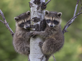 Raccoon (Procyon Lotor) Two Babies Climbing Tree  North America