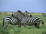 Zebra (Equus Burchellii) Pair Resting  Serengeti National Park  Tanzania