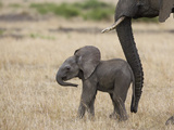 African Elephant (Loxodonta Africana) Mother and Less Than 3 Weeks Old Calf  Masai Mara  Kenya