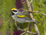 Golden-Winged Warbler (Vermivora Chrysoptera) Male Perched on Branch  Rio Grande Valley  Texas